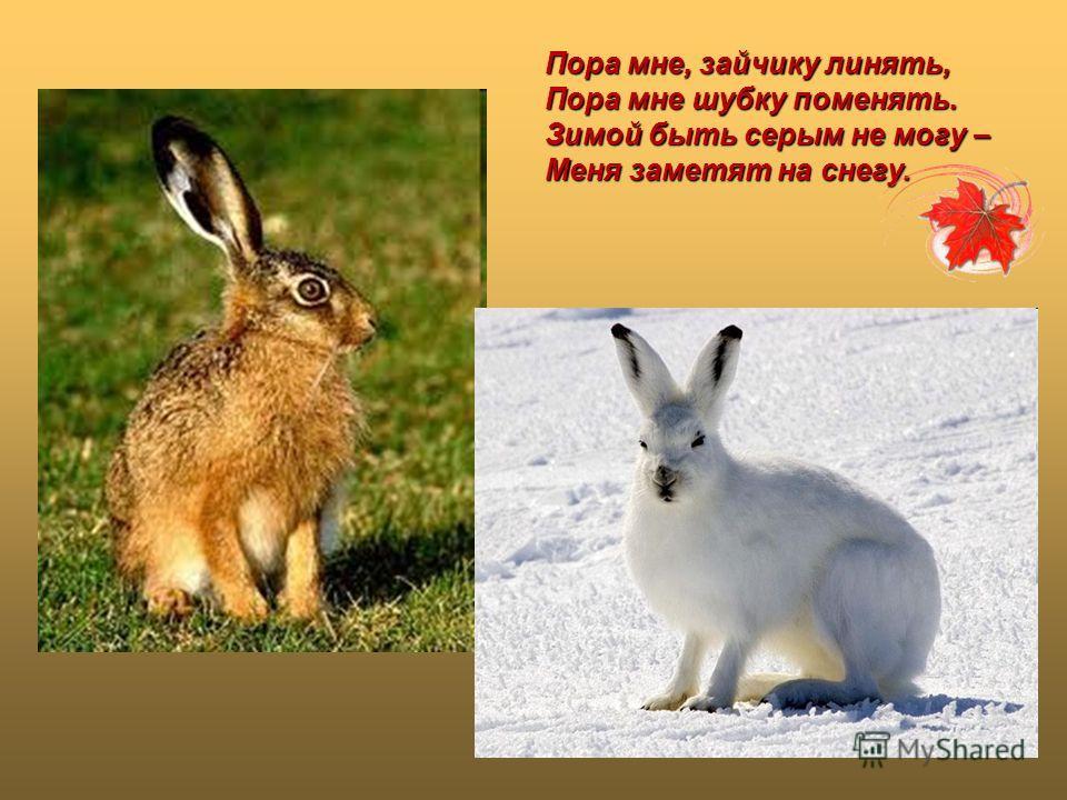 Пора мне, зайчику линять, Пора мне шубку поменять. Зимой быть серым не могу – Меня заметят на снегу.