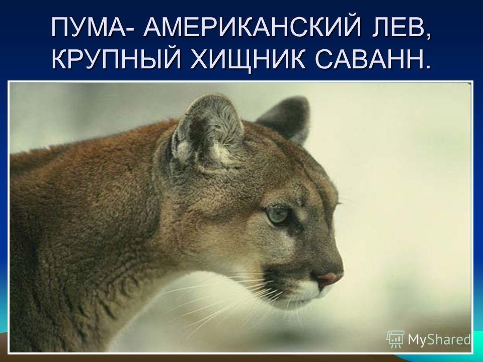 ПУМА- АМЕРИКАНСКИЙ ЛЕВ, КРУПНЫЙ ХИЩНИК САВАНН.