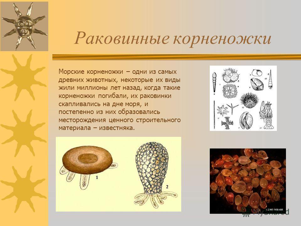 Раковинные корненожки Морские корненожки – одни из самых древних животных, некоторые их виды жили миллионы лет назад, когда такие корненожки погибали, их раковинки скапливались на дне моря, и постепенно из них образовались месторождения ценного строи
