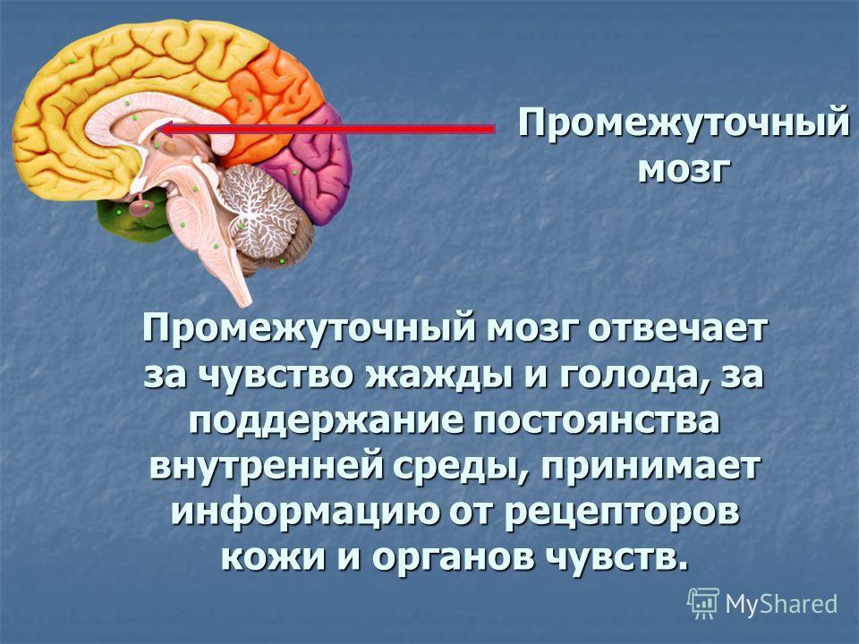 Промежуточный мозг Промежуточный мозг отвечает за чувство жажды и голода, за поддержание постоянства внутренней среды, принимает информацию от рецепторов кожи и органов чувств.