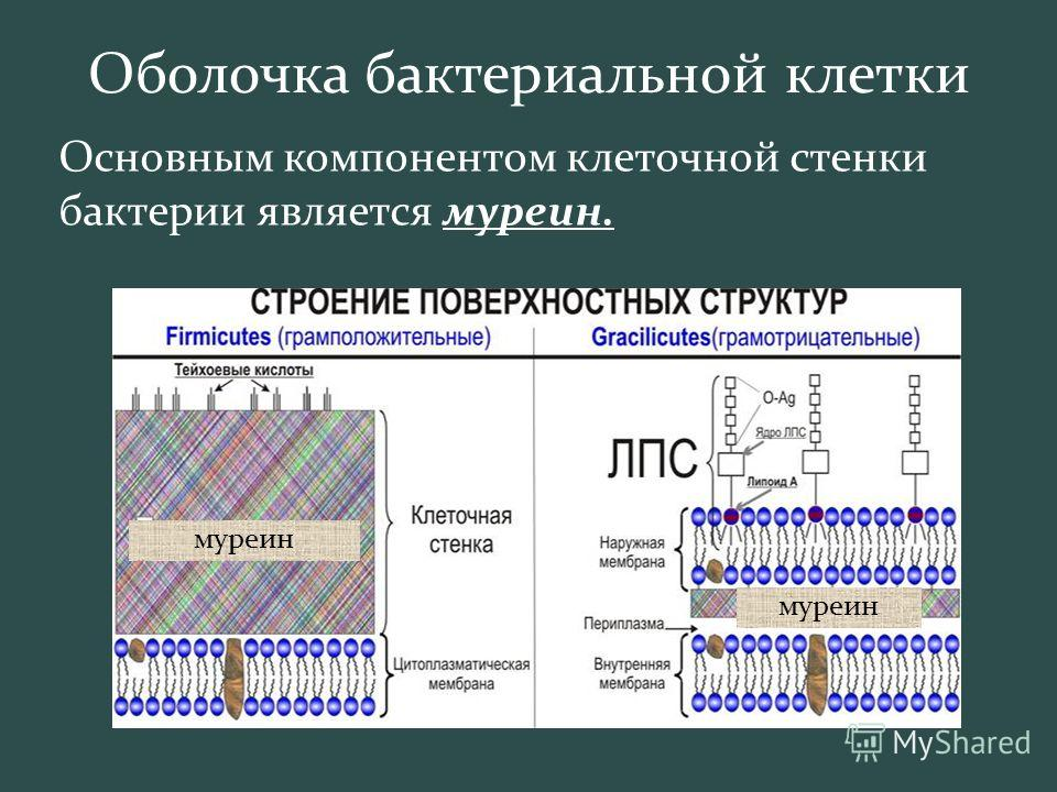 Оболочка бактериальной клетки Основным компонентом клеточной стенки бактерии является муреин. муреин