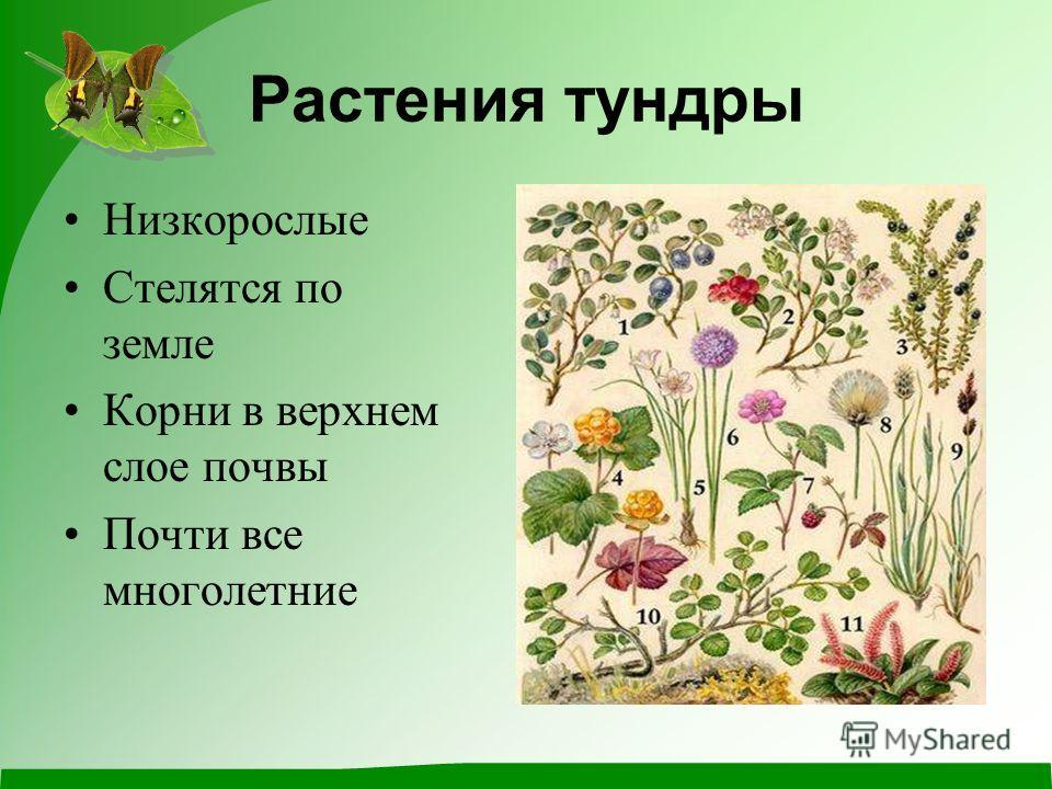 Растения тундры Низкорослые Стелятся по земле Корни в верхнем слое почвы Почти все многолетние