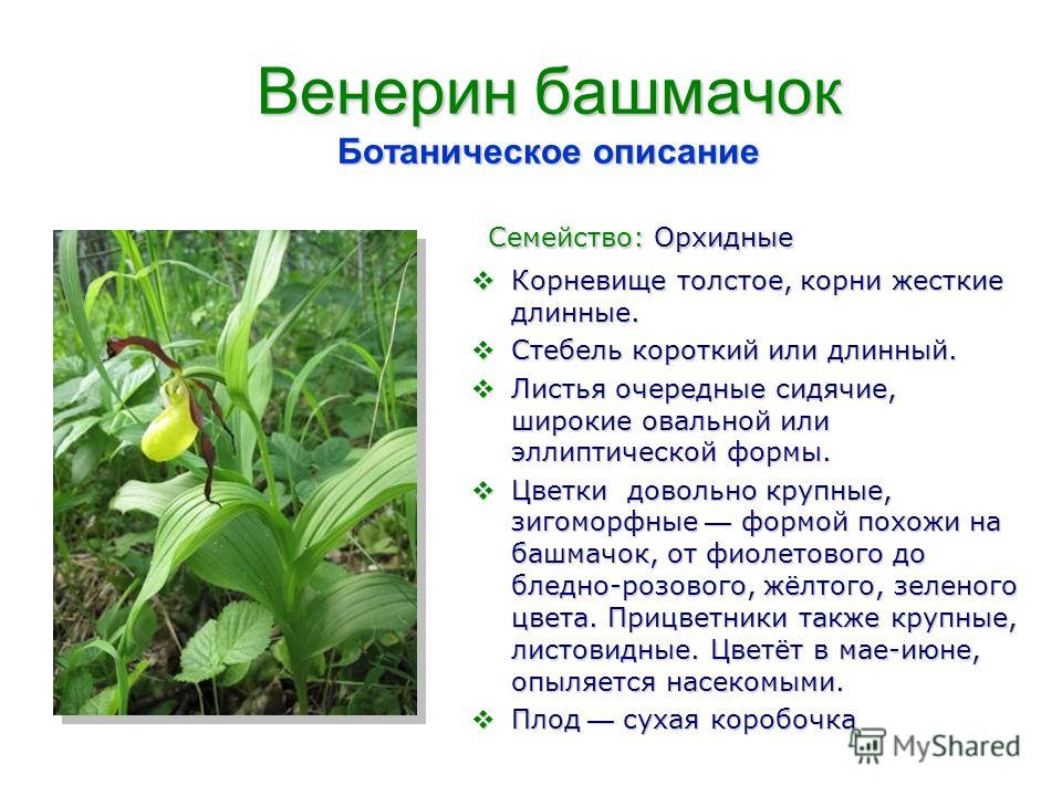 Венерин башмачок Ботаническое описание Семейство: Орхидные Семейство: Орхидные Корневище толстое, корни жесткие длинные. Корневище толстое, корни жесткие длинные. Стебель короткий или длинный. Стебель короткий или длинный. Листья очередные сидячие, ш