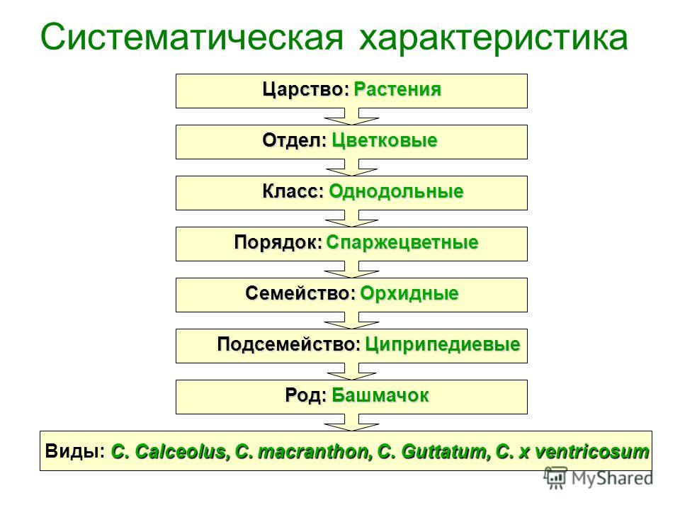 Систематическая характеристика C. Calceolus, C. macranthon, C. Guttatum, C. х ventricosum Виды: C. Calceolus, C. macranthon, C. Guttatum, C. х ventricosum Царство: Растения Порядок: Спаржецветные Семейство: Орхидные Подсемейство: Циприпедиевые Класс: