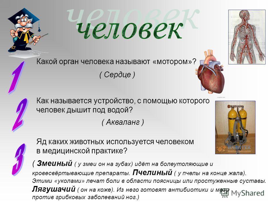 Какой орган человека называют «мотором»? ( Сердце ) Яд каких животных используется человеком в медицинской практике? ( Змеиный ( у змеи он на зубах) идёт на болеутоляющие и кровесвёртывающие препараты. Пчелиный ( у пчелы на конце жала). Этими «уколам