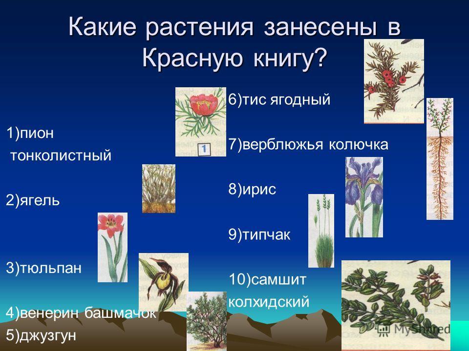 Какие растения занесены в Красную книгу? 1)пион тонколистный 2)ягель 3)тюльпан 4)венерин башмачок 5)джузгун 6)тис ягодный 7)верблюжья колючка 8)ирис 9)типчак 10)самшит колхидский