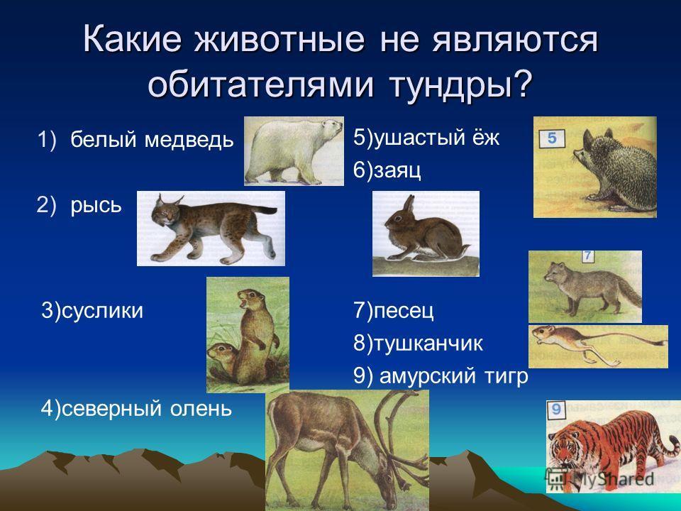 Какие животные не являются обитателями тундры? 1)белый медведь 2)рысь 5)ушастый ёж 6)заяц 3)суслики 4)северный олень 7)песец 8)тушканчик 9) амурский тигр