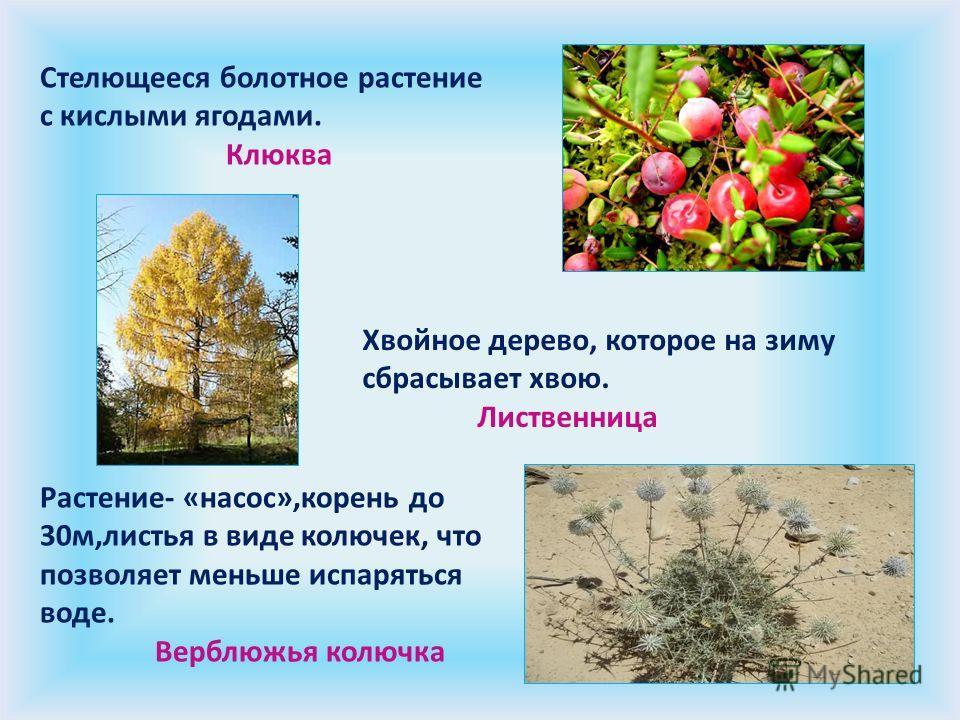 Стелющееся болотное растение с кислыми ягодами. Клюква Хвойное дерево, которое на зиму сбрасывает хвою. Лиственница Растение- «насос»,корень до 30м,листья в виде колючек, что позволяет меньше испаряться воде. Верблюжья колючка