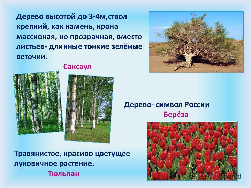 Дерево высотой до 3-4м,ствол крепкий, как камень, крона массивная, но прозрачная, вместо листьев- длинные тонкие зелёные веточки. Саксаул Дерево- символ России Берёза Травянистое, красиво цветущее луковичное растение. Тюльпан