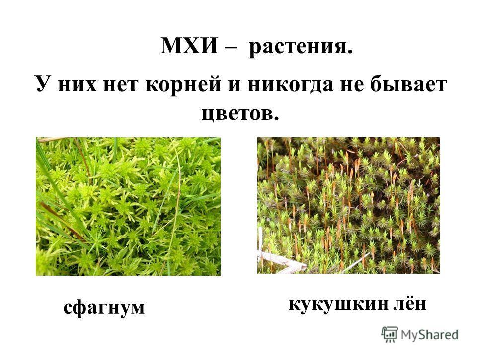 МХИ – растения. У них нет корней и никогда не бывает цветов. сфагнум кукушкин лён