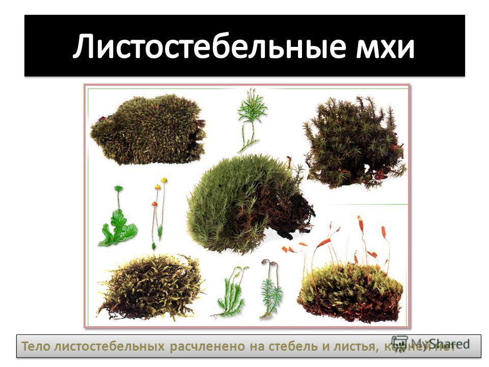 Тело листостебельных расчленено на стебель и листья, корней нет
