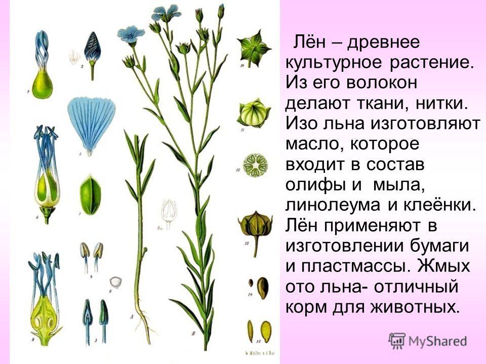 Лён – древнее культурное растение. Из его волокон делают ткани, нитки. Изо льна изготовляют масло, которое входит в состав олифы и мыла, линолеума и клеёнки. Лён применяют в изготовлении бумаги и пластмассы. Жмых ото льна- отличный корм для животных.