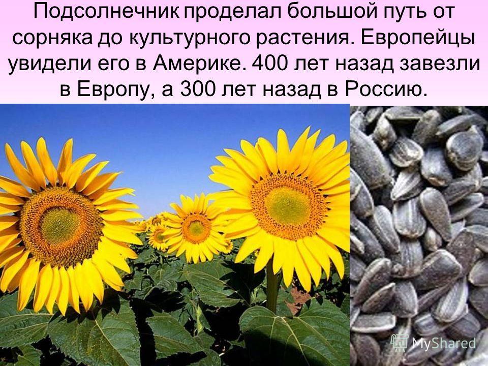 Подсолнечник проделал большой путь от сорняка до культурного растения. Европейцы увидели его в Америке. 400 лет назад завезли в Европу, а 300 лет назад в Россию.