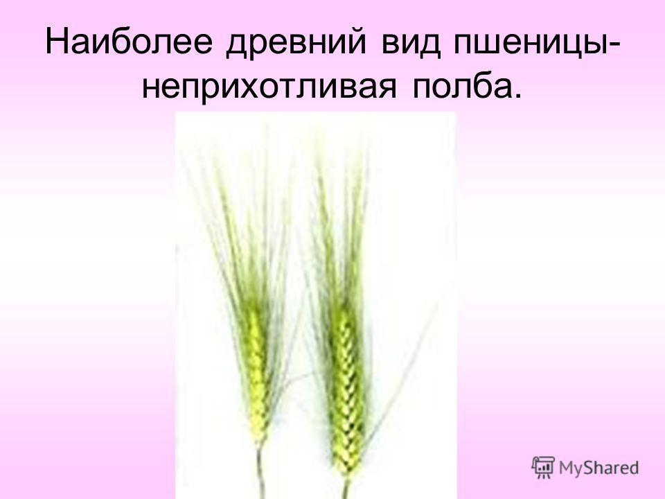 Наиболее древний вид пшеницы- неприхотливая полба.