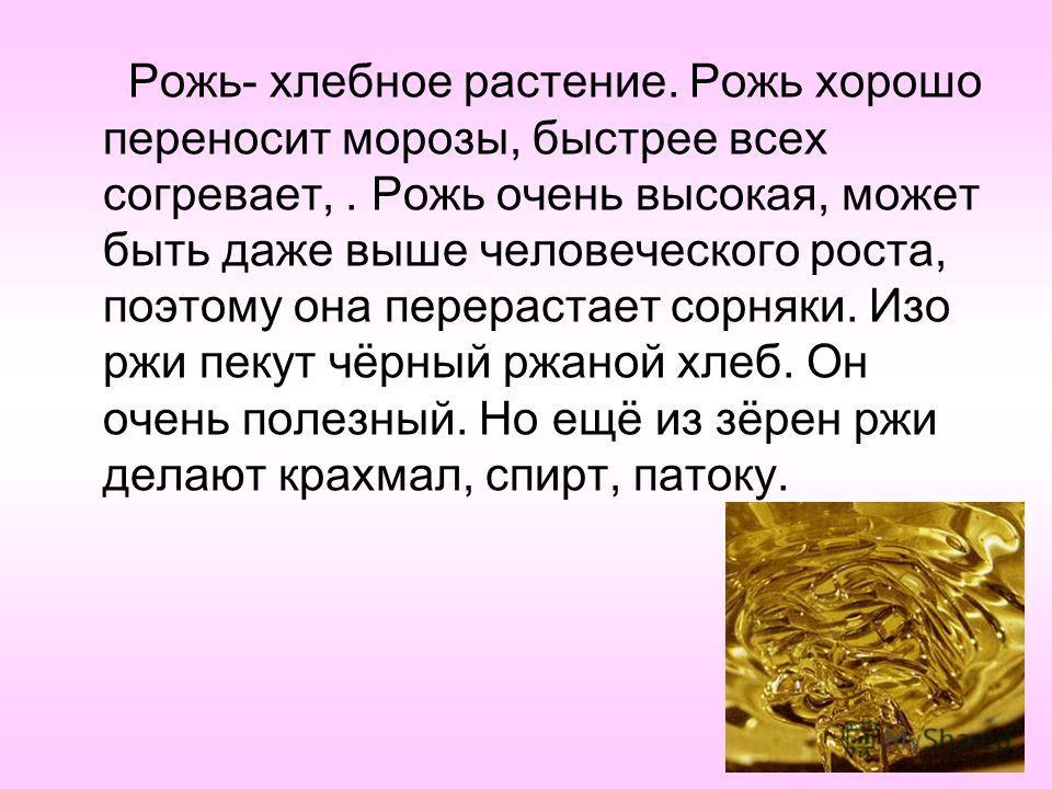 Рожь- хлебное растение. Рожь хорошо переносит морозы, быстрее всех согревает,. Рожь очень высокая, может быть даже выше человеческого роста, поэтому она перерастает сорняки. Изо ржи пекут чёрный ржаной хлеб. Он очень полезный. Но ещё из зёрен ржи дел