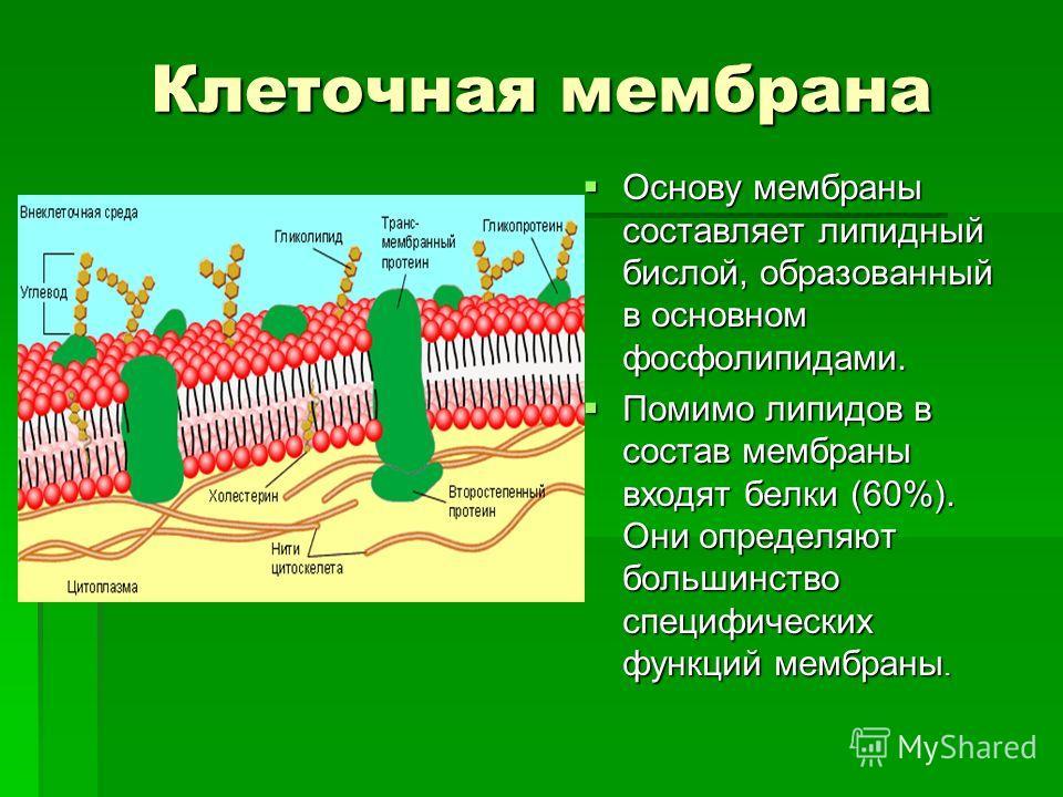 Клеточная мембрана Клеточная мембрана Основу мембраны составляет липидный бислой, образованный в основном фосфолипидами. Основу мембраны составляет липидный бислой, образованный в основном фосфолипидами. Помимо липидов в состав мембраны входят белки