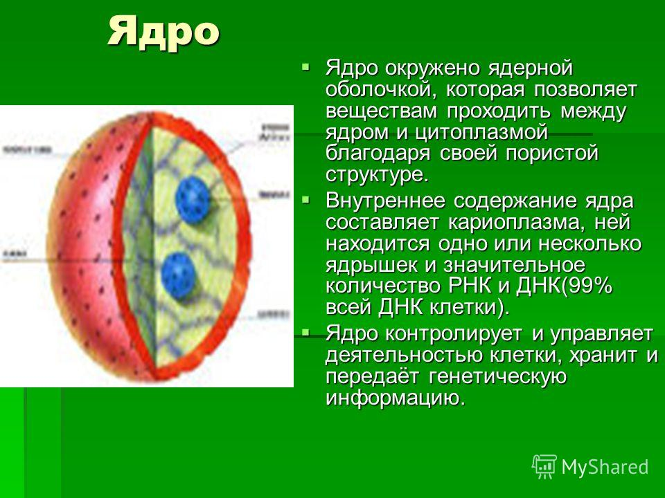 Ядро Ядро Ядро окружено ядерной оболочкой, которая позволяет веществам проходить между ядром и цитоплазмой благодаря своей пористой структуре. Ядро окружено ядерной оболочкой, которая позволяет веществам проходить между ядром и цитоплазмой благодаря