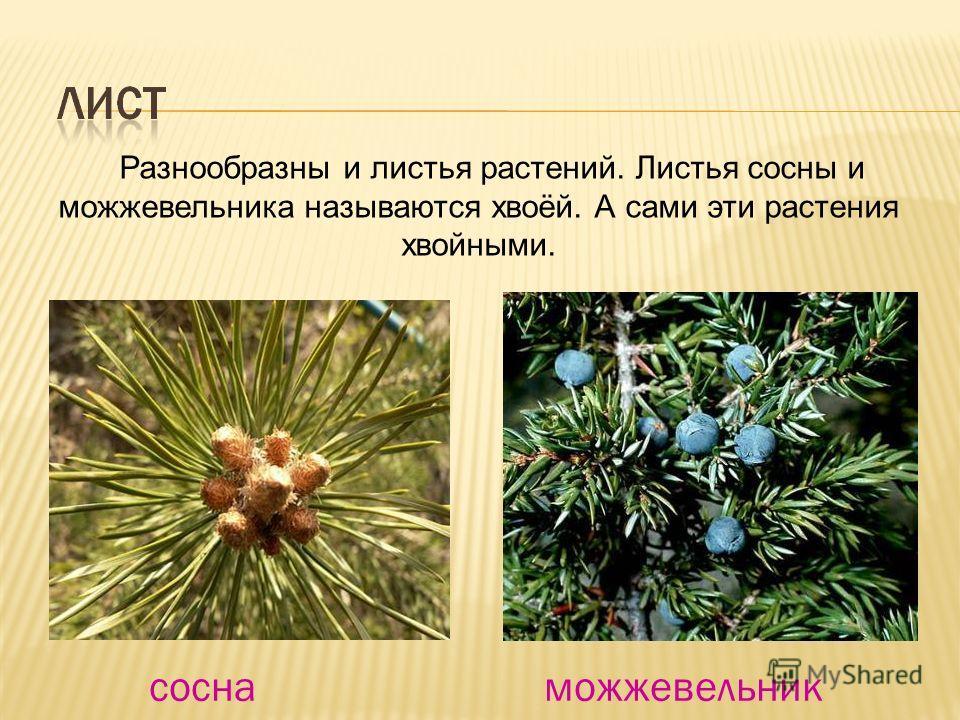 Разнообразны и листья растений. Листья сосны и можжевельника называются хвоёй. А сами эти растения хвойными. сосна можжевельник