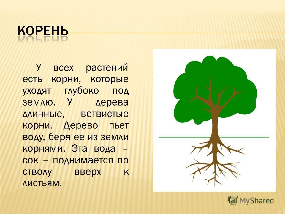 У всех растений есть корни, которые уходят глубоко под землю. У дерева длинные, ветвистые корни. Дерево пьет воду, беря ее из земли корнями. Эта вода – сок – поднимается по стволу вверх к листьям.