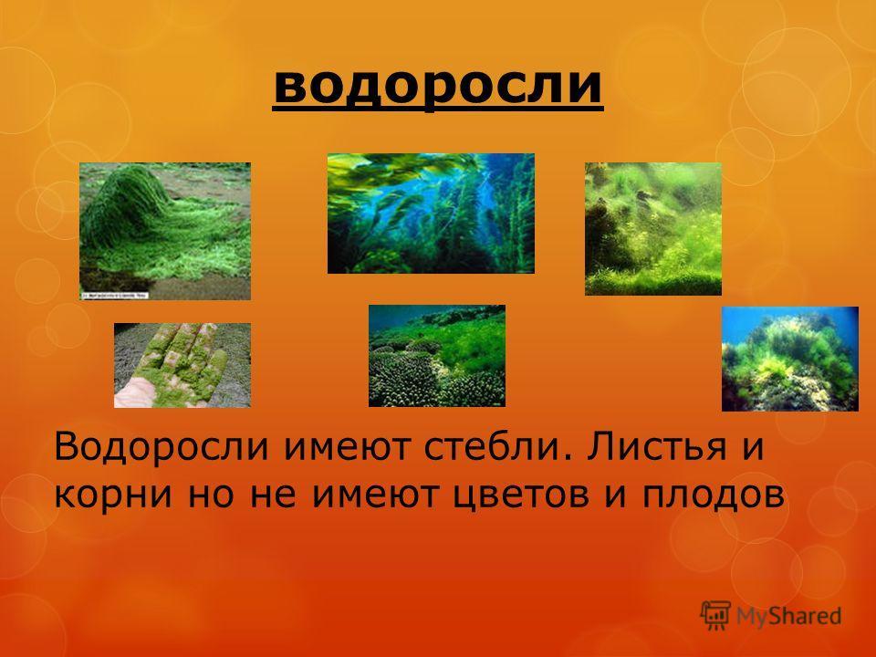 водоросли Водоросли имеют стебли. Листья и корни но не имеют цветов и плодов