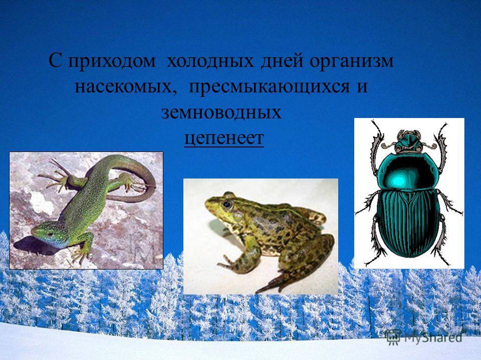 С приходом холодных дней организм насекомых, пресмыкающихся и земноводных цепенеет