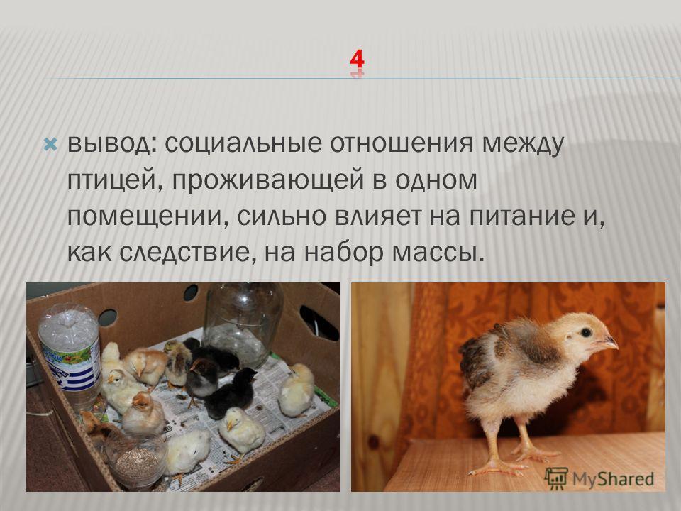 вывод: социальные отношения между птицей, проживающей в одном помещении, сильно влияет на питание и, как следствие, на набор массы.