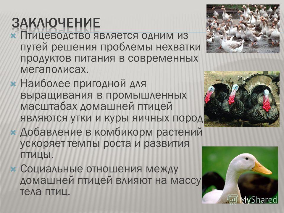 Птицеводство является одним из путей решения проблемы нехватки продуктов питания в современных мегаполисах. Наиболее пригодной для выращивания в промышленных масштабах домашней птицей являются утки и куры яичных пород. Добавление в комбикорм растений