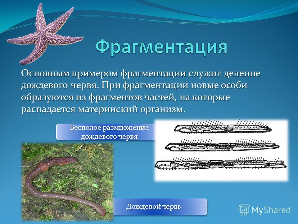 Основным примером фрагментации служит деление дождевого червя. При фрагментации новые особи образуются из фрагментов частей, на которые распадается материнский организм. Бесполое размножение дождевого червя Дождевой червь