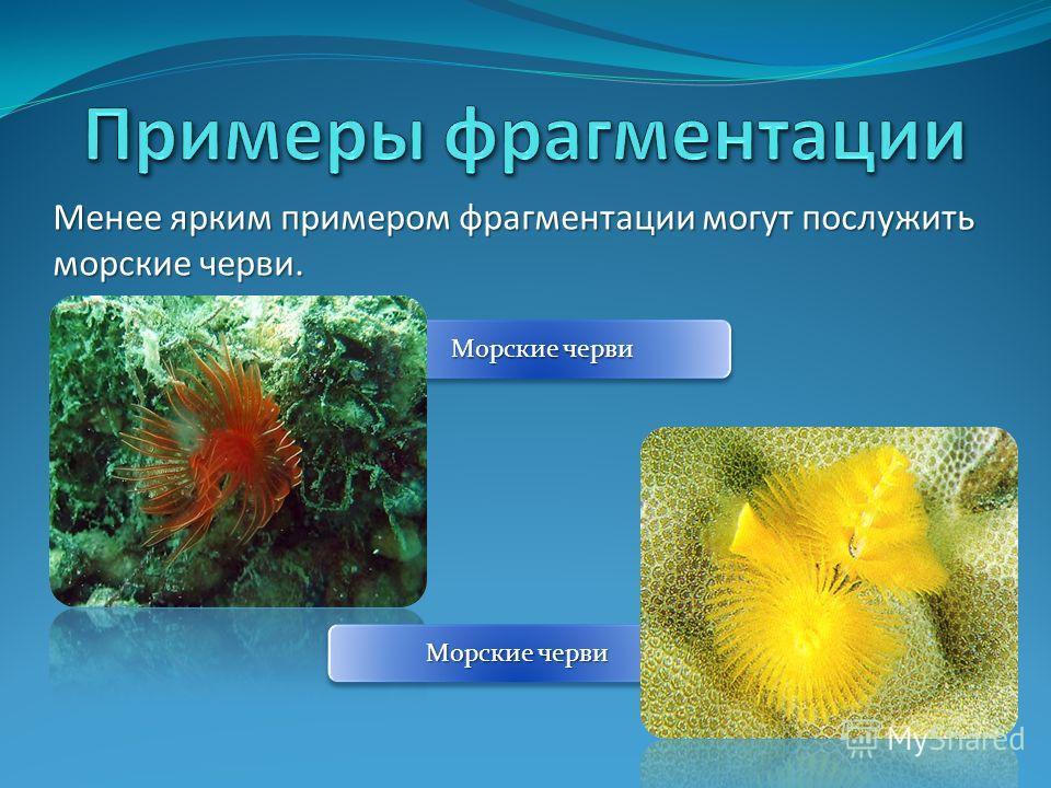 Менее ярким примером фрагментации могут послужить морские черви. Морские черви