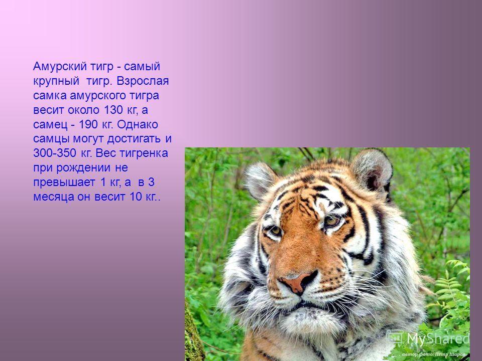4 Амурский тигр - самый крупный тигр. Взрослая самка амурского тигра весит около 130 кг, а самец - 190 кг. Однако самцы могут достигать и 300-350 кг. Вес тигренка при рождении не превышает 1 кг, а в 3 месяца он весит 10 кг..
