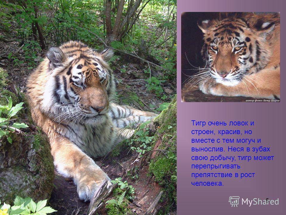 5 Тигр очень ловок и строен, красив, но вместе с тем могуч и вынослив. Неся в зубах свою добычу, тигр может перепрыгивать препятствие в рост человека.