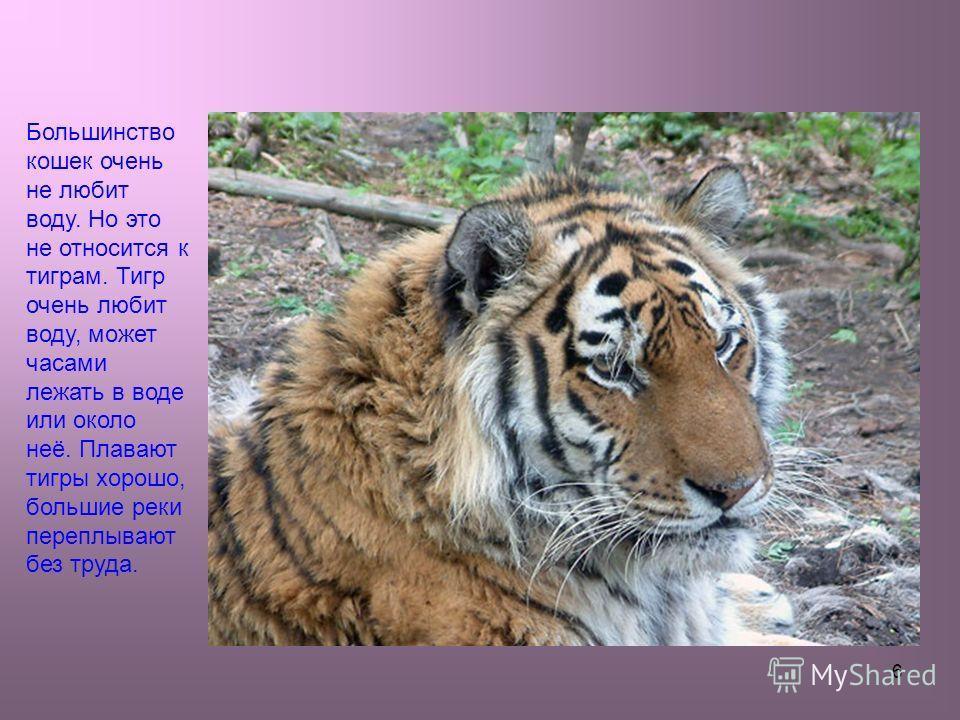 6 Большинство кошек очень не любит воду. Но это не относится к тиграм. Тигр очень любит воду, может часами лежать в воде или около неё. Плавают тигры хорошо, большие реки переплывают без труда.