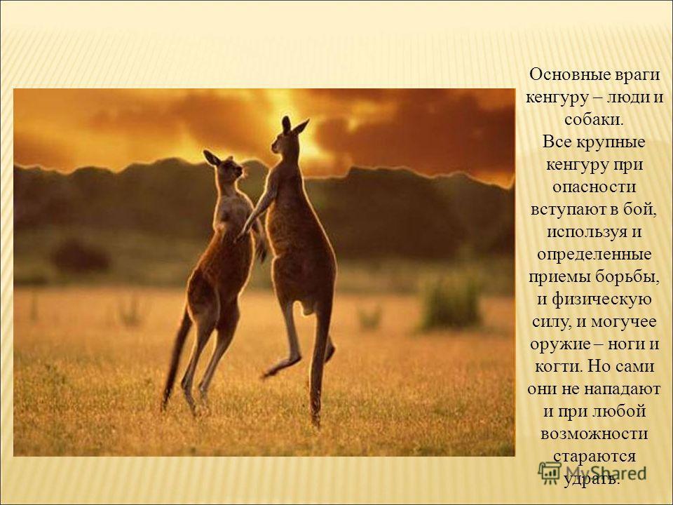 Основные враги кенгуру – люди и собаки. Все крупные кенгуру при опасности вступают в бой, используя и определенные приемы борьбы, и физическую силу, и могучее оружие – ноги и когти. Но сами они не нападают и при любой возможности стараются удрать.