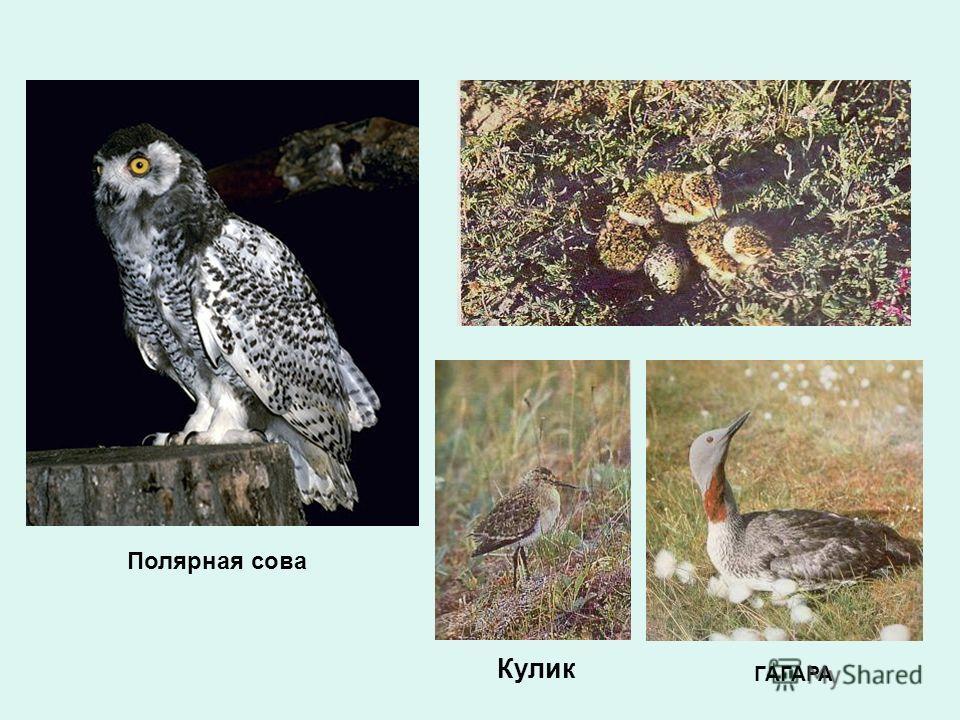 Кулик ГАГАРА Полярная сова