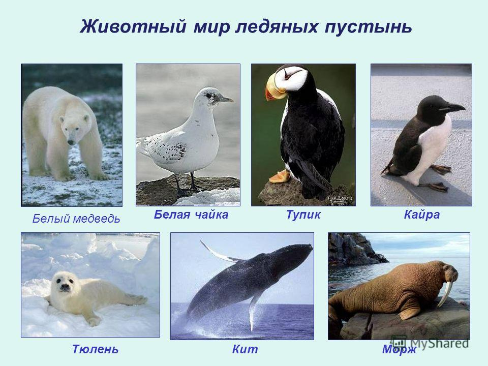 Белый медведь Животный мир ледяных пустынь ТупикКайра ТюленьМоржКит Белая чайка