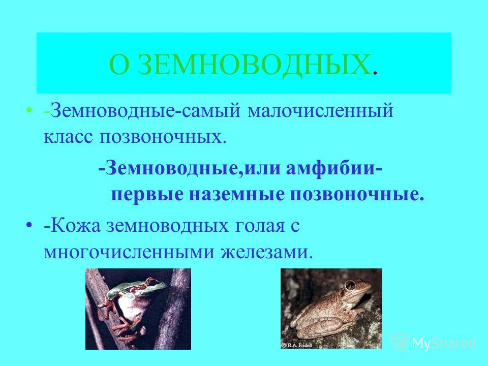О ЗЕМНОВОДНЫХ. -Земноводные-самый малочисленный класс позвоночных. -Земноводные,или амфибии- первые наземные позвоночные. -Кожа земноводных голая с многочисленными железами.