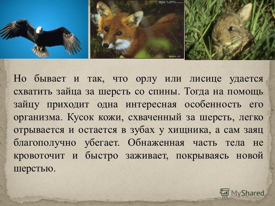 Или лесной заяц, как его ещё называют, днём спит, а ночью выходит на кормёжку. Зимой он питается корой деревьев. Чаще всего грызёт он молодые осинки, берёзки, бегает на берег реки, чтобы полакомиться мягкой корой ивы. К зиме зайцы линяют. Новая шерст