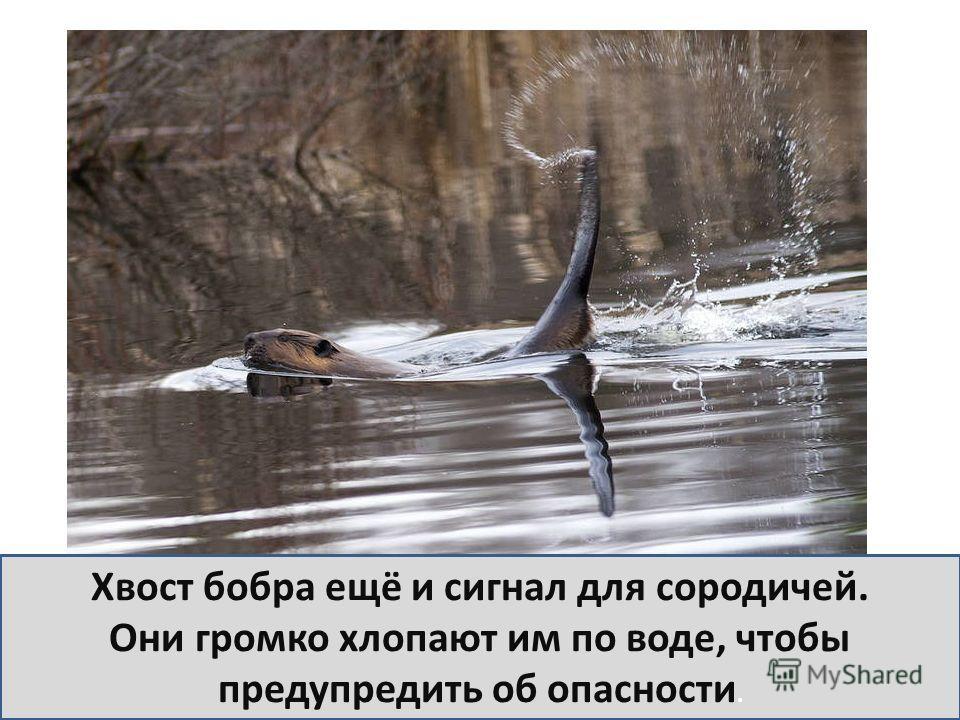 Хвост бобра ещё и сигнал для сородичей. Они громко хлопают им по воде, чтобы предупредить об опасности.