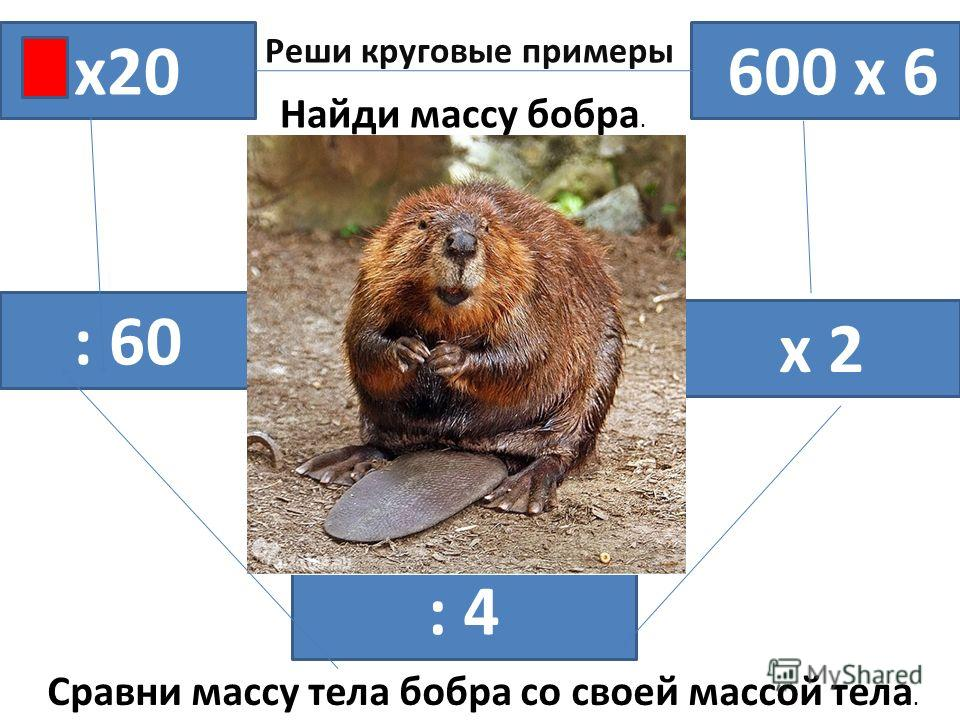 х20 600 х 6 х 2 : 4 : 60 Реши круговые примеры Найди массу бобра. Сравни массу тела бобра со своей массой тела.