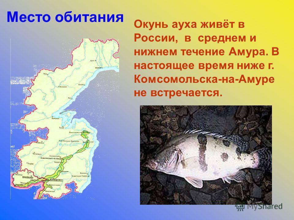 Окунь ауха живёт в России, в среднем и нижнем течение Амура. В настоящее время ниже г. Комсомольска-на-Амуре не встречается. Место обитания