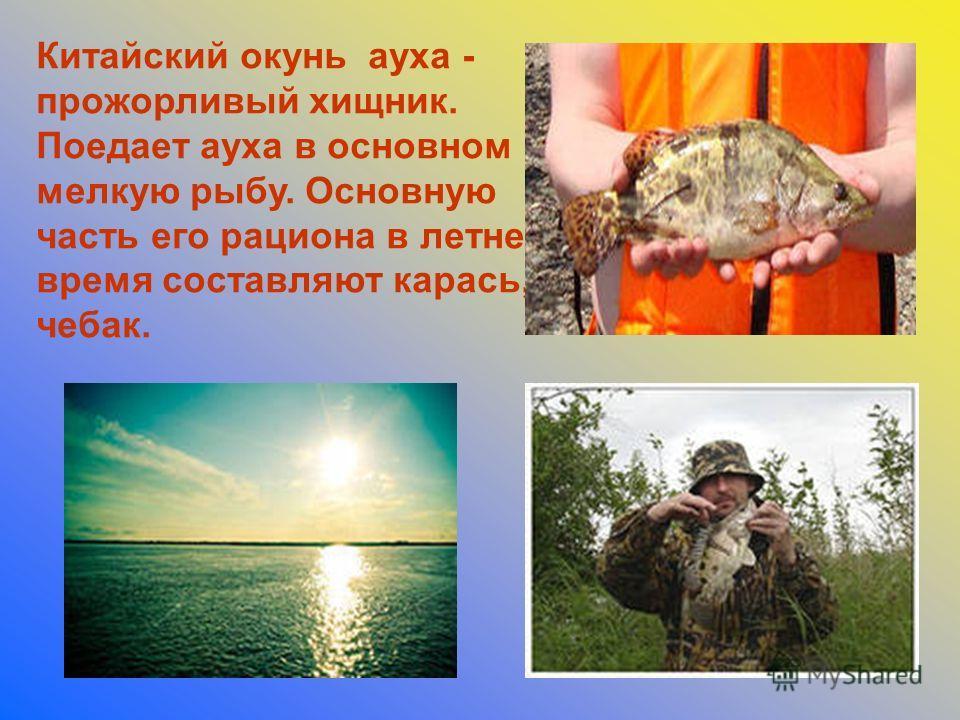 Китайский окунь ауха - прожорливый хищник. Поедает ауха в основном мелкую рыбу. Основную часть его рациона в летнее время составляют карась, чебак.