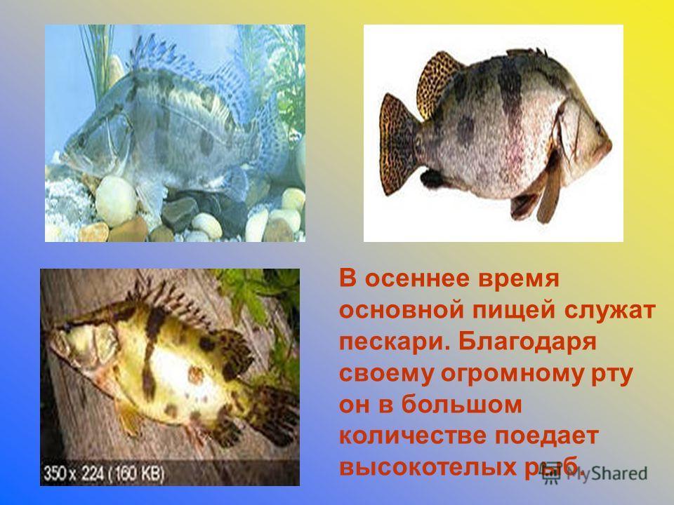 В осеннее время основной пищей служат пескари. Благодаря своему огромному рту он в большом количестве поедает высокотелых рыб.