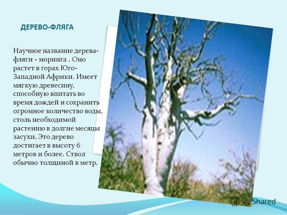 ДЕРЕВО-ФЛЯГА Научное название дерева- фляги - моринга. Оно растет в горах Юго- Западной Африки. Имеет мягкую древесину, способную впитать во время дождей и сохранить огромное количество воды, столь необходимой растению в долгие месяцы засухи. Это дер