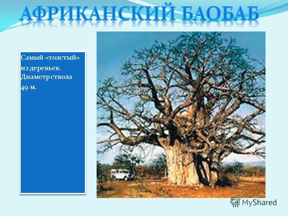 Самый «толстый» из деревьев. Диаметр ствола 49 м. Самый «толстый» из деревьев. Диаметр ствола 49 м.