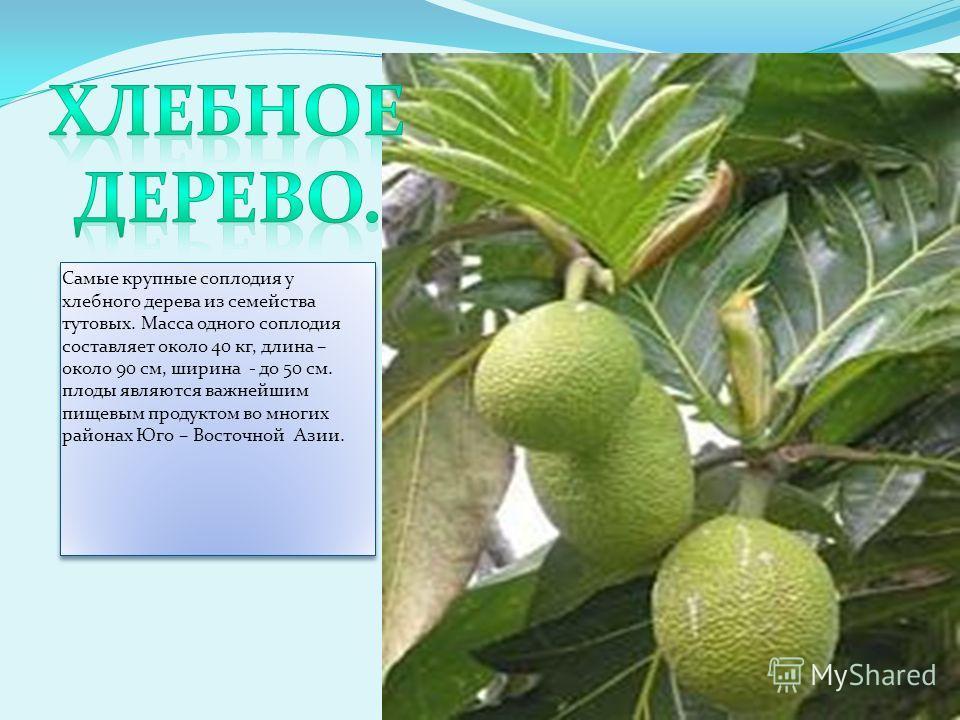Самые крупные соплодия у хлебного дерева из семейства тутовых. Масса одного соплодия составляет около 40 кг, длина – около 90 см, ширина - до 50 см. плоды являются важнейшим пищевым продуктом во многих районах Юго – Восточной Азии.
