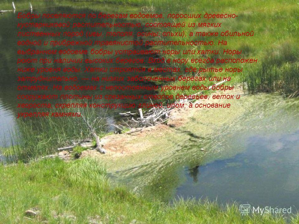 Бобры поселяются по берегам водоемов, поросших древесно- кустарниковой растительностью, состоящей из мягких лиственных пород (ивы, тополя, осины, ольхи), а также обильной водной и прибрежной травянистой растительностью. На выбранном водоеме бобры уст
