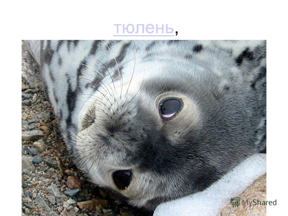 тюлень,тюлень