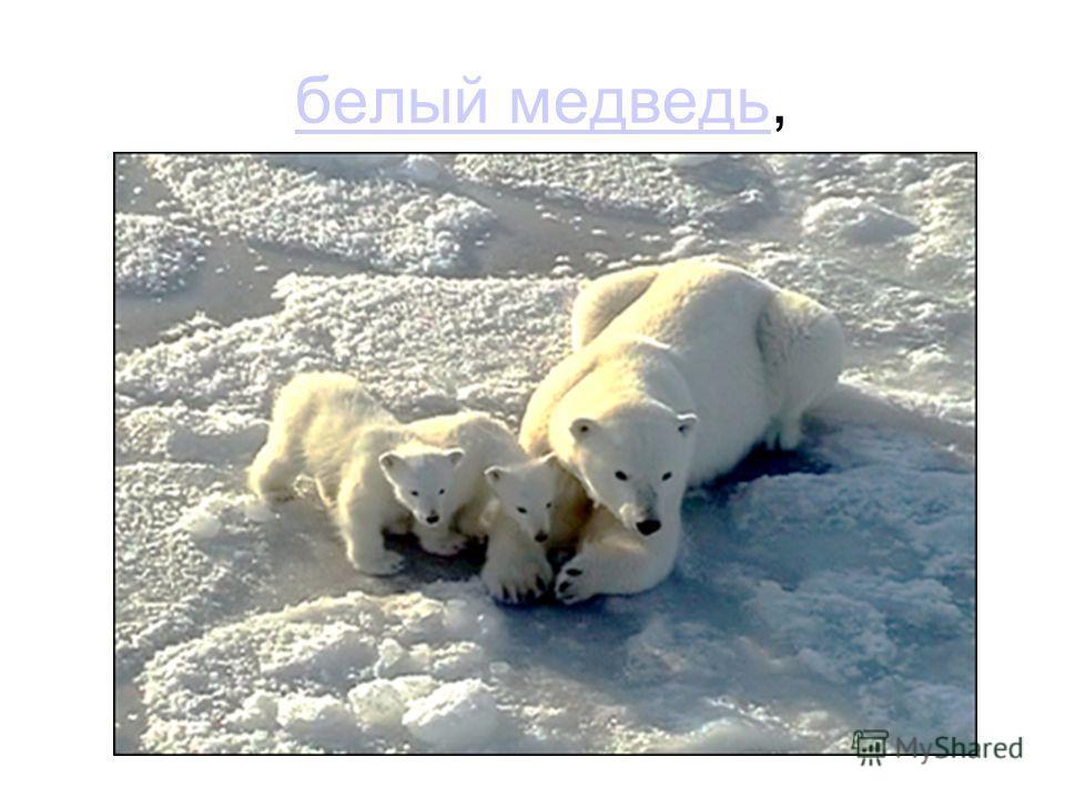 белый медведь,белый медведь