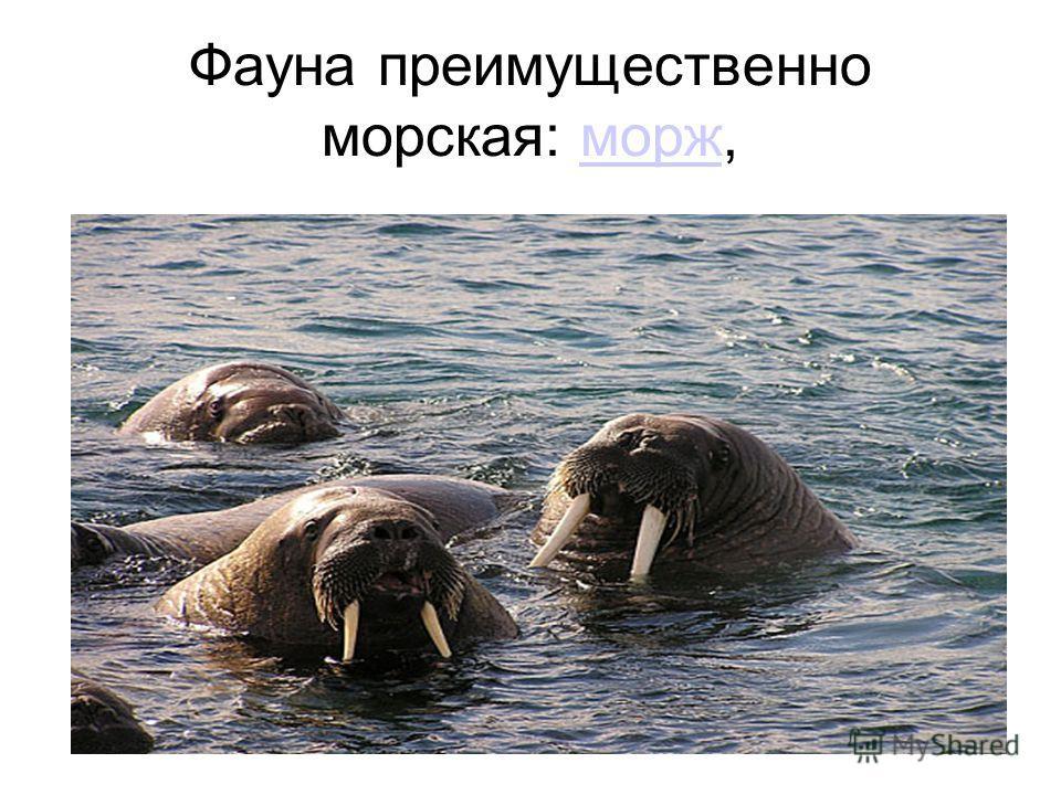 Фауна преимущественно морская: морж,морж