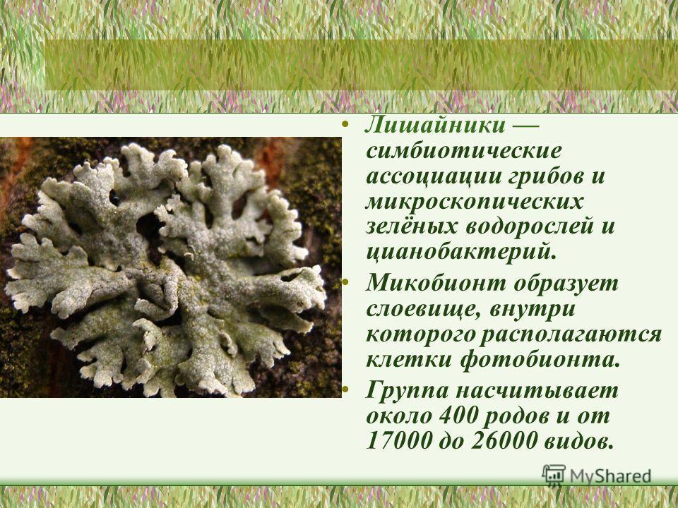 Лишайники симбиотические ассоциации грибов и микроскопических зелёных водорослей и цианобактерий. Микобионт образует слоевище, внутри которого располагаются клетки фотобионта. Группа насчитывает около 400 родов и от 17000 до 26000 видов.